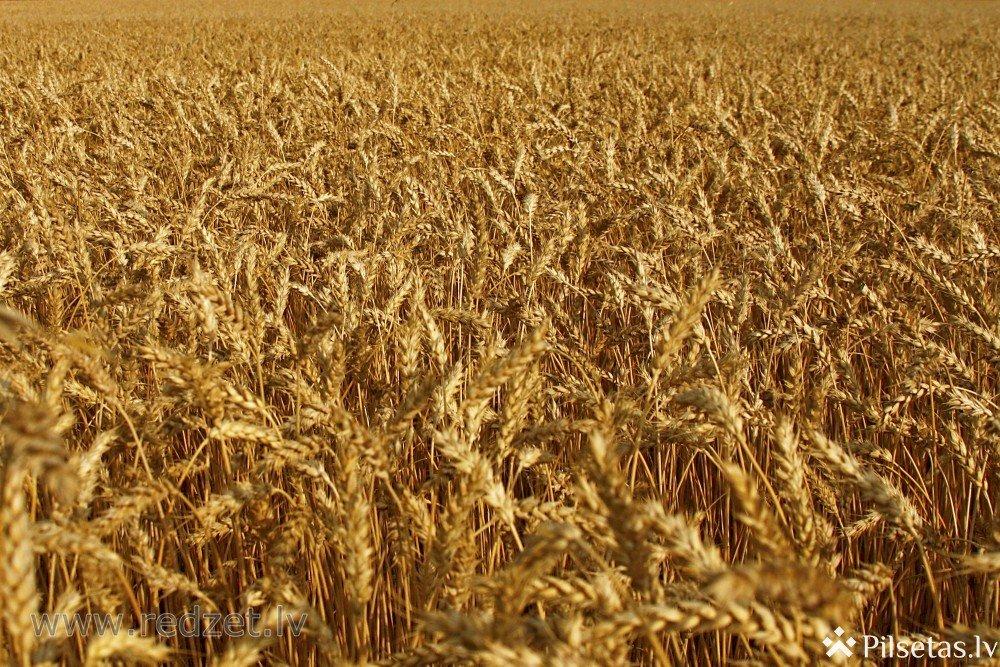 """""""Durbes grauds"""": Kooperācija graudkopības sfērā Latvijā ir attīstītāka nekā Lietuvā un Igaunijā"""