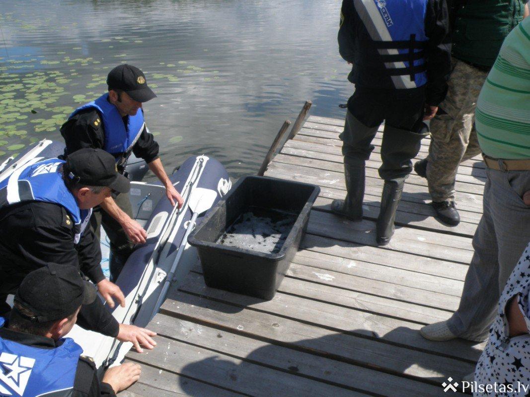 Preiļu novada Pelēču ezerā tiek ielaisti līdaku mazuļi